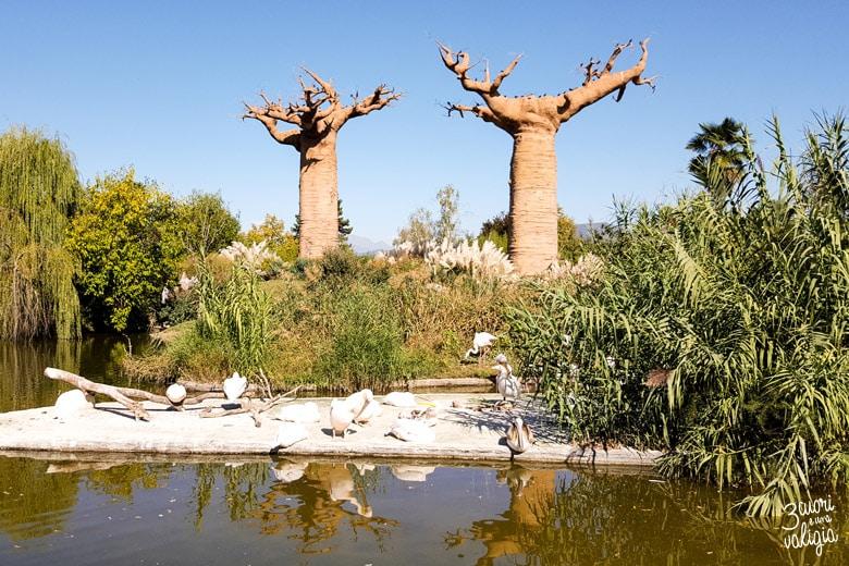Bioparco Zoom coppia baobab