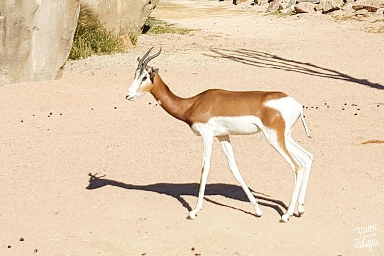 Bioparco Zoom gazzella