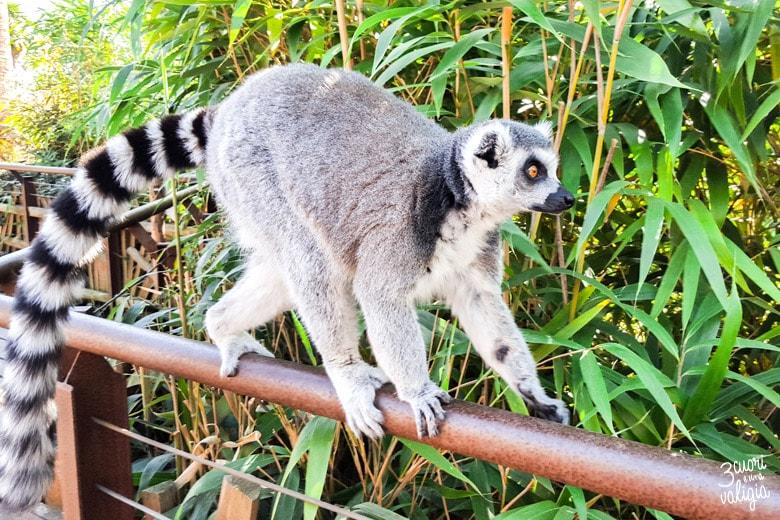 Bioparco Zoom Torino con bambini - lemure