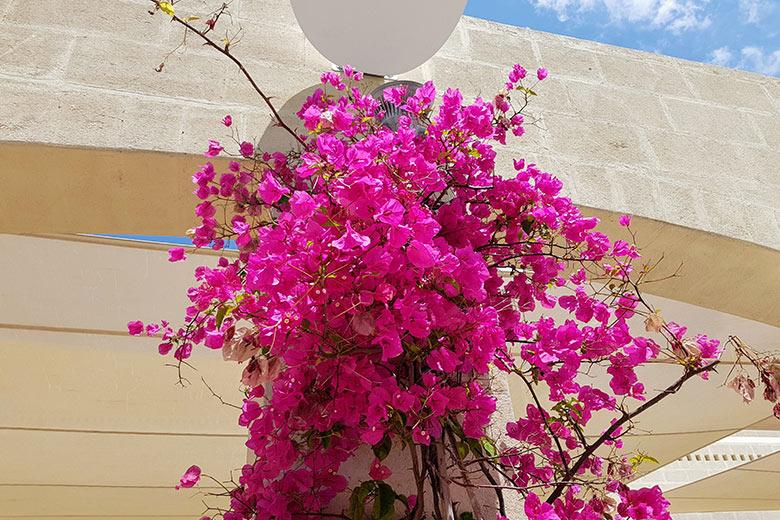 Ugento - Vivosa Apulia resort glicine in fiore
