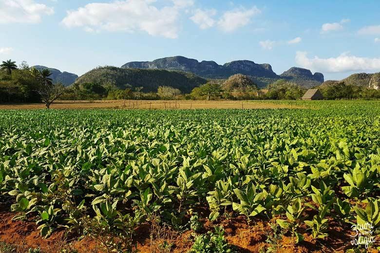 Cuba - Valle Viñales, piantagione di tabacco