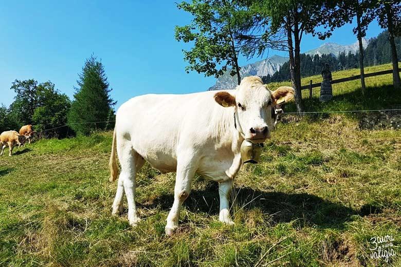 Svizzera - alpe dell'Ochsenberg mucca