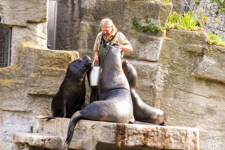 Ora di pranzo per i leoni marini